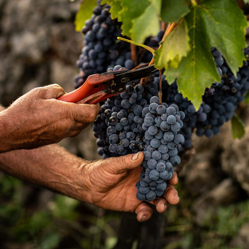 Off Piste Wine brand image of grapes
