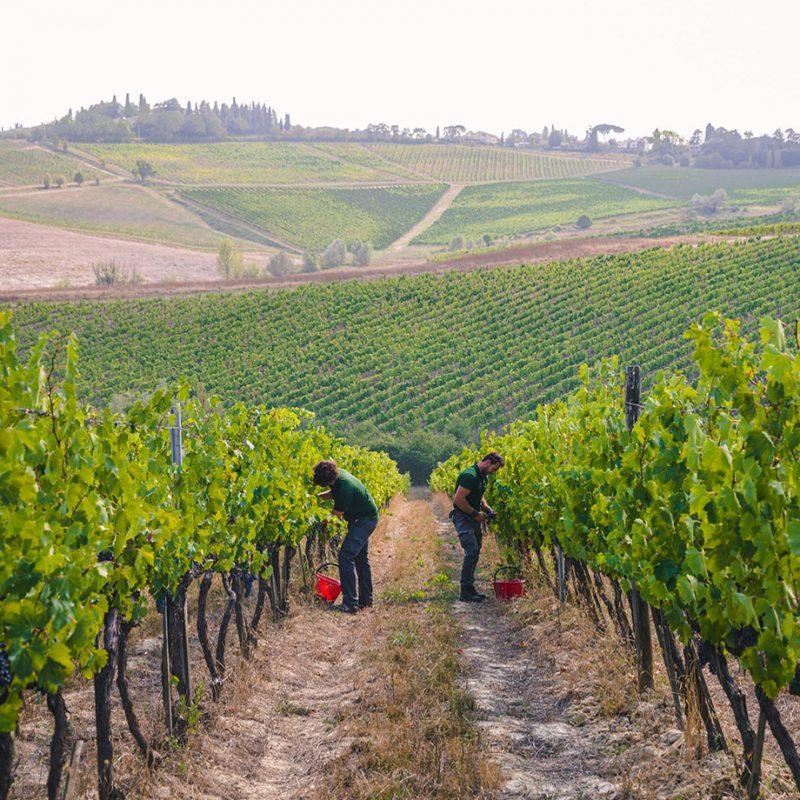 Piccini vinyard