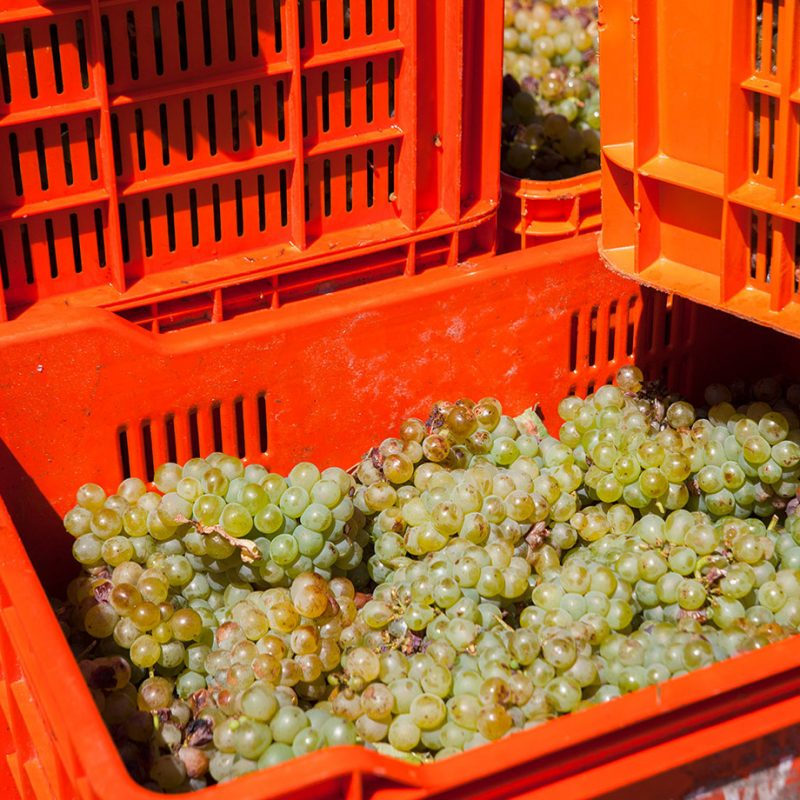 Shoredrift grapes